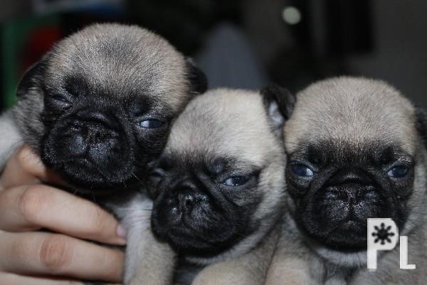 pug pcci papers for sale