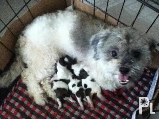 Pure Breed Shih tzu puppies for sale ? Binangonan