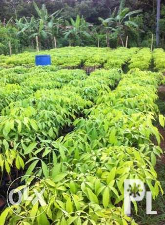 QUALITY budded rubber tree seedlings and seeds for
