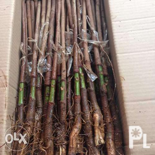 Quality budded rubber tree seedlings budded stumps