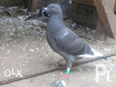 Image gallery for Racing Pigeon Tested Bloodline   AmericanListed com