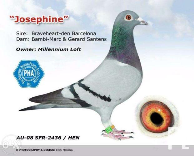Racing Pigeon Top Quality Bloodline for Sale in Manila, National