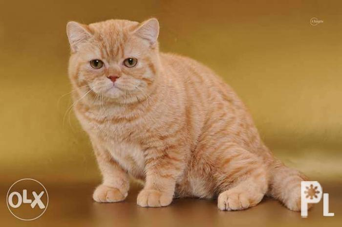 Rare Color Show Quality British Shorthair Kitten!! for Sale