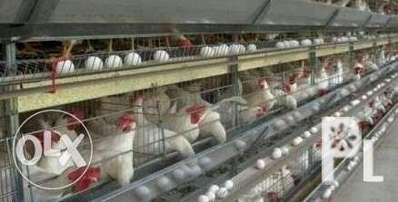 Ready to lay pullet for sale