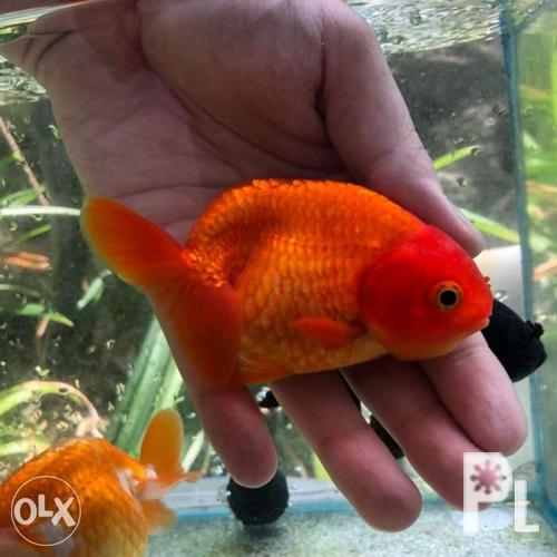 Red ranchu goldfish 4 5in fish 3 5in body for Sale in Caloocan City