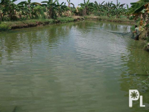 Rush for sale farm with fish pond for sale in bustos for Large fish ponds for sale