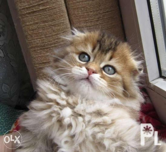 Scottish fold Longhair Highland fold for Sale in Quezon City