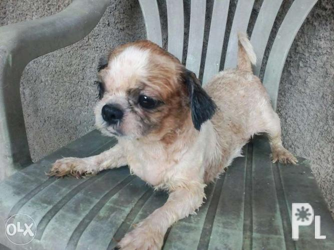 tzu sale for Shih adult