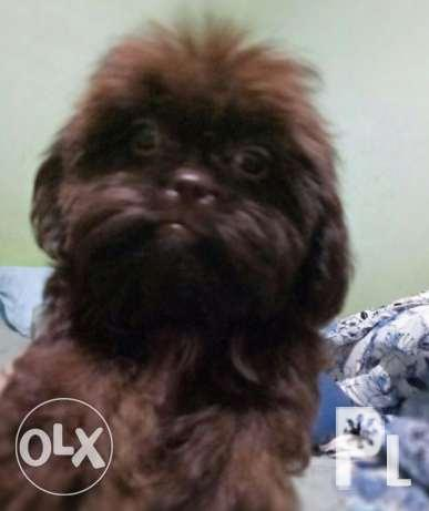 Shih Tzu Princess Type Chocolate Color Liver Nos For Sale In Quezon