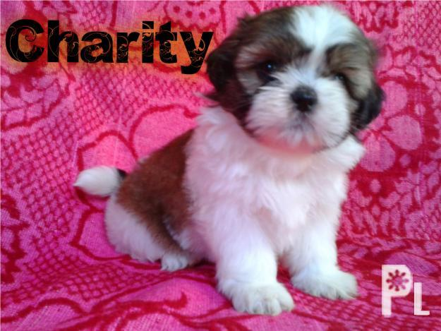 pcci papers for sale shih tzu Pcci papers, complete deworming and updated 5 in 1 vaccine , shih tzu for sale, 1577402812295819, download facebook video and save them to your devices to play anytime for free.