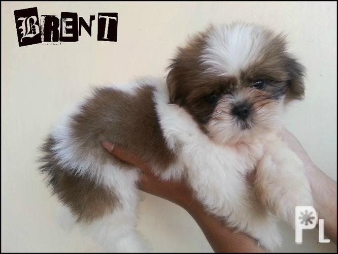 pug pcci papers for sale Cute pugs for sale with pcci papers date of birth: january 6, 2016 3 males = 1  fawn (reserved) 2 males left we will be the one to update their.