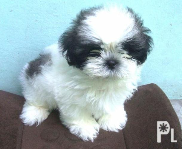 Boy Shih Tzu Hairstyles Male Shih Tzu Haircuts Styles