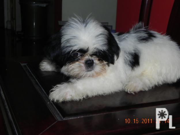 Shih Tzu X Japanese Chin Pups For Sale For Sale In Cainta