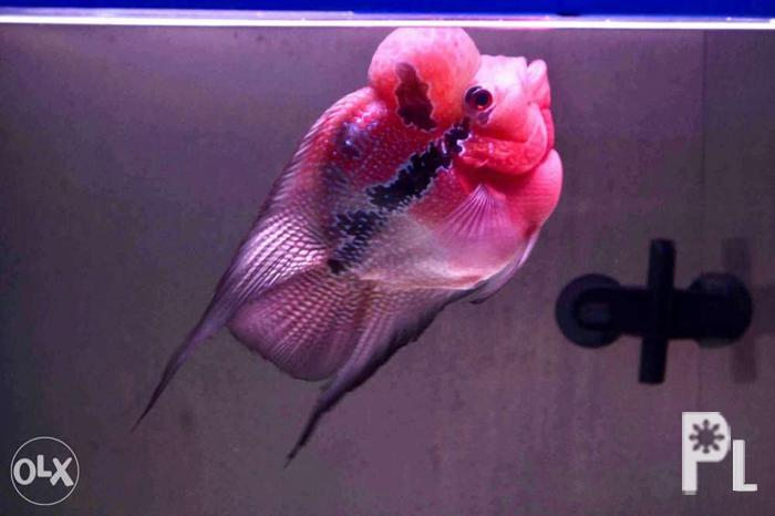 Learn These Short Body Female Flowerhorn For Sale {Swypeout}