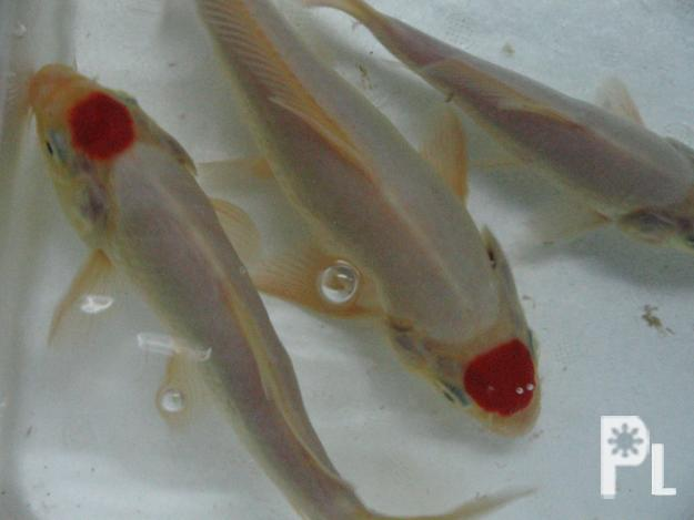 Show type koi for sale iligan city for sale in iligan for Show koi for sale