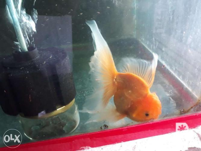 Swap or for sale igh finned Thai Oranda Goldfish Fry and