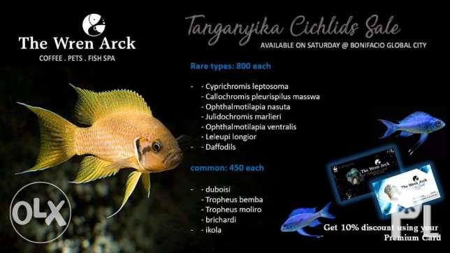 Tanganyika Cichlids For Sale for Sale in Lipa City