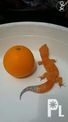 The Best Leopard Gecko For Sale for Sale in Makati City, National