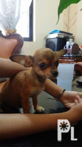 Tiny Teacup Chihuahua For In Lapu