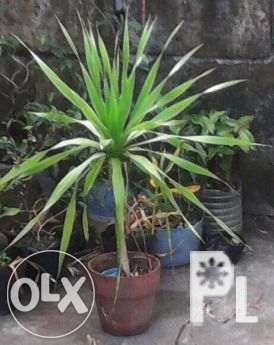 Yucca plants for sale for Sale in Manila, National Capital ...