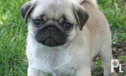 For Sale Puppy A Female pug puppy,2months old,Complete vaccine,Dee worm is looking for a home and family to comfort with at a very affordable Price. Hurry! Buy now! For interested Buyers please contact newsthatwork.123@gmail.com Thank You and