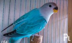 Blue Opaline, and Yellow Opaline, a mutation of the peach faced lovebird (Agapornis Roseicollis). 4 young birds, two blue opaline, hatch date Sept 30, one with a nice turquoise color, the other a dark variant, charcoal color. Two yellow with red heads,