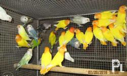 """African Lovebirds Age range: 4 Months to 12 months Gender: Male and Femae Location: Near Mahogany Groove Subdivision, Upper Tawason (aka """" Kabasting), Mandaue City, Cebu or walking distance from Lower Talamban, Cebu City Contact Person: Brian and Grace"""