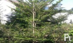 "African Talisay or ""Umbrella Tree"" sizes available are 4ft, 7ft, 8ft and 10ft. Prices varies depends on plant height. We also have Variegated African Talisay (limited stocks only) We deliver nationwide. We also accept landscaping service, garden"