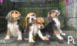 100% Pure Breed Beagle Puppies Very loyal, active and playful No PCCI paper With updated vet card One 5-in-1 vaccine shot 3x dewormed DOB: June 12, 2016 DOR: Anytime upon request One female (1st solo pic) Three males Please Call or Text only Contact #:
