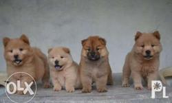 4 FEMALES (3 cream, 1 red) DOB: July 10, 2016 Without PCCI (but guaranteed pure) with 5 in 1 vaccine Complete deworming upon release With veterinary card Diet: Hollistic recipe puppy Vitamins: LC-Vit Price: 18k Address: N.S Cabahug St., Cortes Compound,
