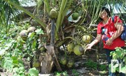 Dwarf coconut seedlings for sale. Very nice for landscaping, high yielding variety (big fruit) and can bear fruit in less than 3 years. For pick-up in Nueva Vizcaya or for delivery in nearby areas. price is still negotiable. Please do not hesitate to send