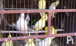 * Php 1,800.00 PER PAIR * Breed: Lutino, Pearl and Grey Cockatiel * 4-6 months old * Breed: Albino (WHITE) for Php 1,200 each * Sunday ONLY available day for pick up in New Manila, Quezon City. * Contact Person: Roden