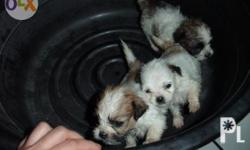 TRICOLOR (WHITE, BROWN, BLACK)   SHIH TZU PUPPIES 2FEMALES AND 1MALE AVAILABLE DEWORMED WITH 5 IN 1 VACCINATION UPON RELEASE DOB AUGUST 07,2014 RELEASE DATE END OF SEPTEMBER-OCTOBER 3 2K RESERVATION AND FULL PAYMENT UPON RELEASE PLEASE VISIT