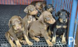 for sale doberman! gender: female and male age: runnin 2 months color: black and red breed: very pure doberman temperament: cooled temperament papers: non regstrd veterinary records (prvo and dewormed) benefits: good for d family and companion, a pet for