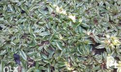 Variegated Frog Grass limited stocks only also available: Frog Grass Blue Grass for faster transaction and for other inquiry please call or text us at