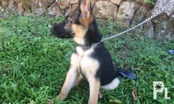 Selling 2 GERMAN SHEPHERD puppies 3 months old with 3 shots 5in1 vaccine With PCCI papers, ZICCO VOM UHLBACHTAL lineage Updated Deworming Frontline applied Beefpro puppy diet 25K each See to appreciate, visit us at FISHUI PET DEPOT located at 2 Queen of