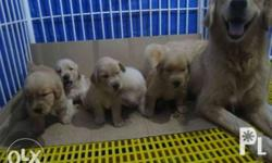 pure breed golden retriever puppies 7weeks old ready to release available male only no papers with 1 shot 5in1 and 1 de worm diet food beef pro puppy healthy active and playfull for fast transaction txt my number open for meet ups tnx
