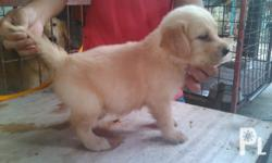 ..available golden retriever puppies (2 males left).. ..with pedigree certificates.. ..with updated vaccines and medical records.. ..d.o.b.:December26,2011.. ..if interested,Plstxt or call @ 09182805444..
