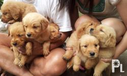 Deskripsiyon selling golden retriever pups 5 females and 3 males date of birth was: Feb 11,2012 pure breed with vaccines pcci papers are on process open for reservation w/ fee release date on April 12,2012 12k for female 10k for male please follow this