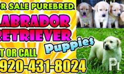Deskripsiyon Good Quality Pure Breed Lab 5,500 for Male 6,500 for Female Born: March 12, 2012 4 Puppies Remaining 3 (Males) and 1 (Female) Dewormed with Multi-Vitamins (Tiki-tiki and Nutroplex) and 2 Shots of 5 in 1 Booster (Anti-Parvo included) Location: