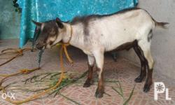 Good day ka-OLX! We want to sell our goat/kambing. All are in good health. 1st pic is male 7months old. 5K 2nd pic female weighs approximately 17-20kls. 7k 3rd pic pregnant female weighs approximately 13-16kls. 6k. Package price of 16k. Fixed price. Near