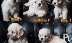Maltipoo Puppies Maltipoo is a popular cross of the Maltese and PPhilippineslisted, known for its fun-loving and affectionate nature. Active and charming, can adaptably fit into all kinds of homes and families: apartment or house, family with kids or