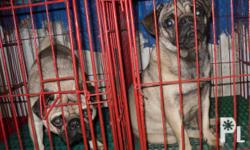 Deskripsiyon 2pug puppies available 1female 15k and 1male 13k 2months color fawn black mask with pcci papers and 2shots of 5n1 vaccine.. see to appreciate... cheaper price we have pomspitz 3months female color black small size 6k, and puggle 3months color