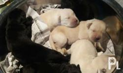 I am selling black and yellow labrador, male and female. 2 boys. 2 girls. To be released november.. dam is cream (rare) labrador and sire is black labrador (see attached photo). The 4th photo is the grandmother which is phil grand champion which means my