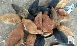 Black Australorp 1 male 2 females = 1,400 1 male 4 females = 2,200 Hubbard and native chicken 1 male 2 females 1,000 1 male 4 females 1,600 Naturally grown without the use of Antibiotics and Growth hormones. Note: Special price for Bulk order. For
