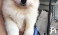 For reservation: Breed: Samoyed Both parents Russian import Xxxl 1 Females available, 2 female sold bibi and bubu 4 months 12 kilos weight Pls Like: Skyler & Isla�s Kingdom Buy and Sell