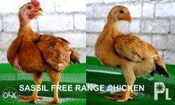 Sassil free range chicken is a hybrid chicken, raised primarily for meat, lays more egg than native chicken and a show bird too. It is best suit for backyard chicken raiser. If you have reach the minimum amount of purchase, we can deliver it door to door