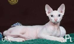 Breed: Sphynx Date of Birth: August 2016 Color: White Gender: Male Price: Php 40,000 Status: Available for Reservation Shipping: 2-3 weeks upon confirmation Our cats are thoroughbred from Europe with pedigree and breeding rights. They come with complete