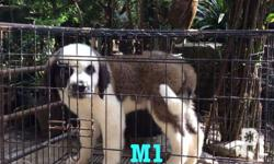 FOR SALE!! St. Bernard Puppies -3months -100% pure breed -with PCCI -4x vaccinated -updated deworming -very healthy & active Male 35k Female 40k Location: Baguio City
