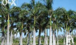 wholesale palm tree direct from our big palm nursery landscape and development project. 1,000+ of palms from seedling to fully grown royal palm , hawain palm or foxtail palm , manila palm , golden palm, anahaw or fan palm , red palm , areca or palmera